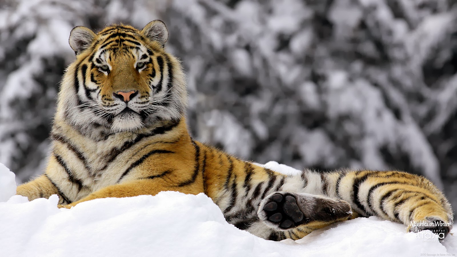"<img src=""http://2.bp.blogspot.com/-TiXAaboLEw0/Ut5GEgcsJaI/AAAAAAAAJiM/Ovxek3Y_hLs/s1600/tiger-in-winter.jpg"" alt=""tiger in winter"" />"