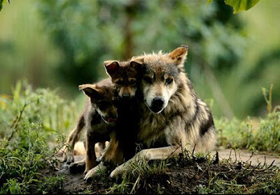 Mother Wolf Photo