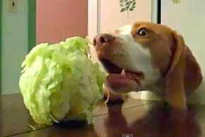 Cachorro pode comer repolho?