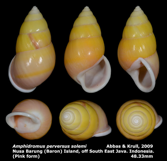 Amphidromus perversus solemi 48.33mm (Pink form)