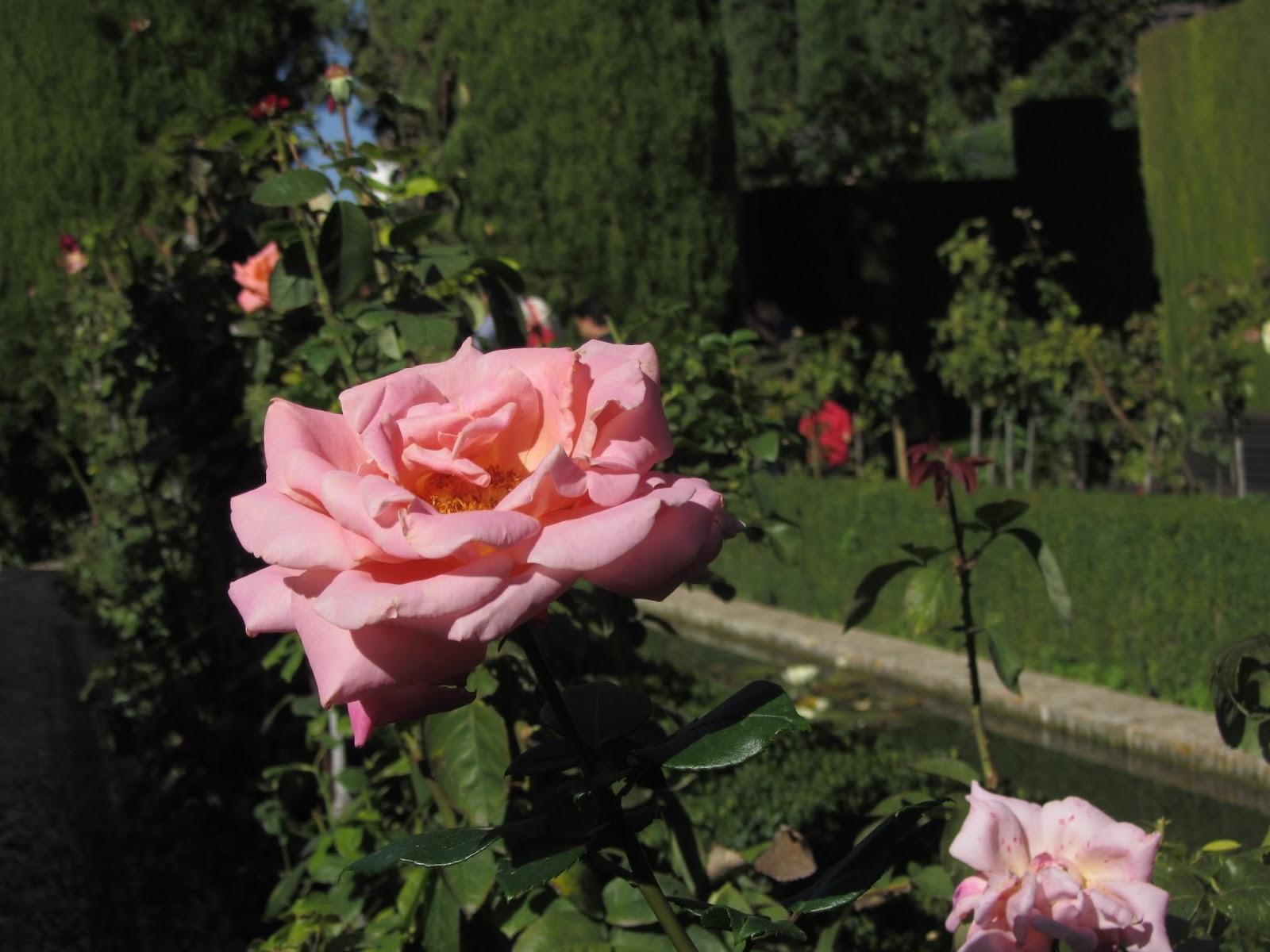 Rosa de los Jardines Bajos del Generalife