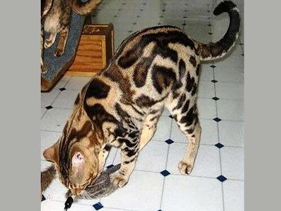 foto kucing bengal 02