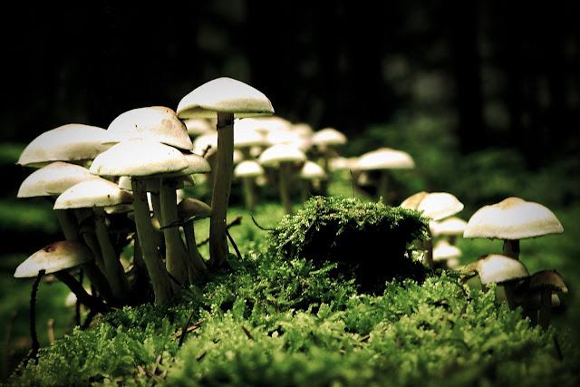 'Magic mushroom' - psilocybin svampe
