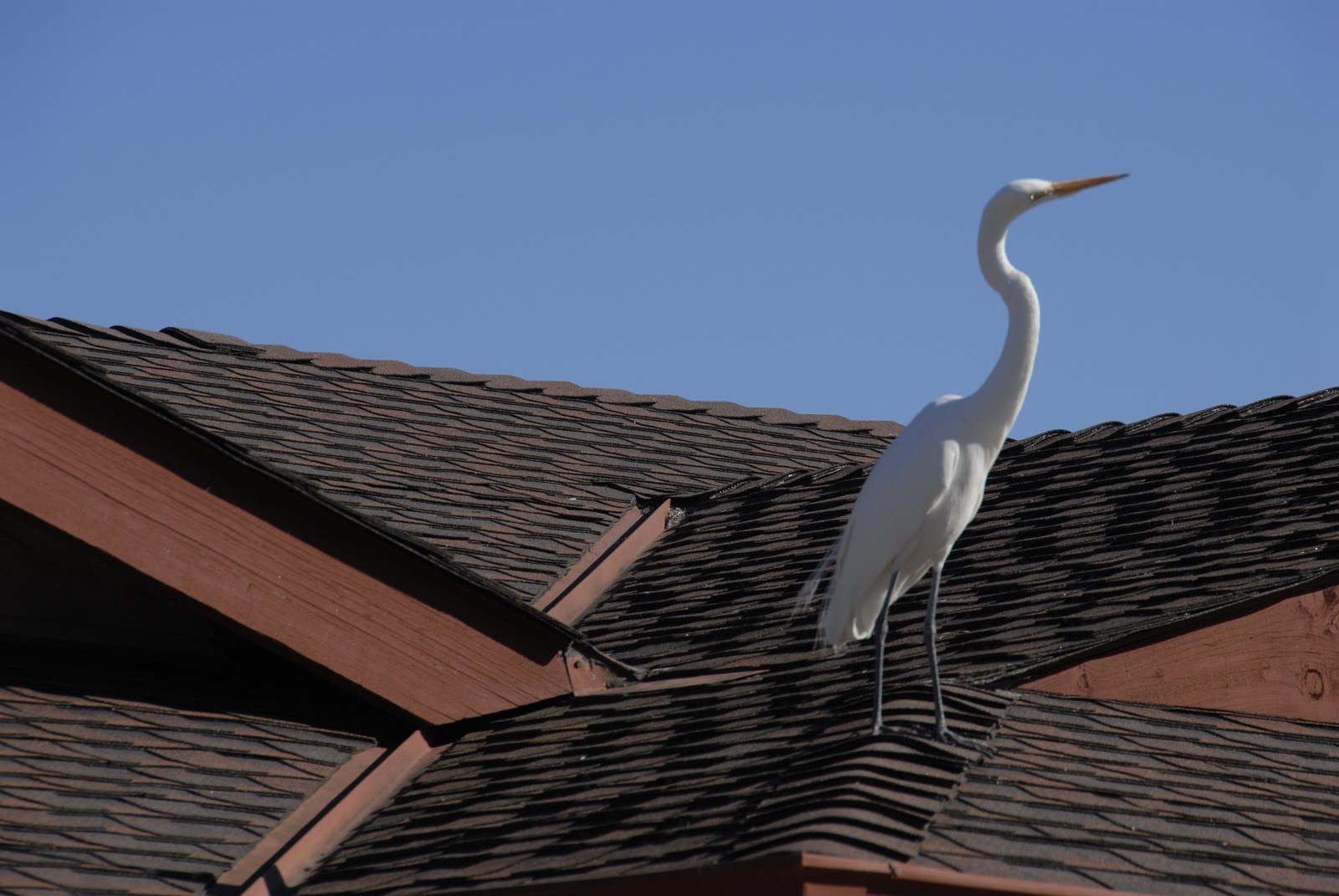 great egret perched upon house roof