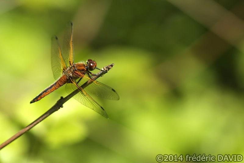animaux insecte libellule fauve macro forêt Rougeau Seine-et-Marne
