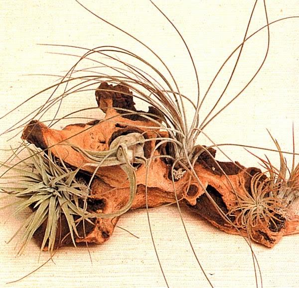 Тилландсии оаксакана, «Голова медузы», ситниковая, фиолкоцветная