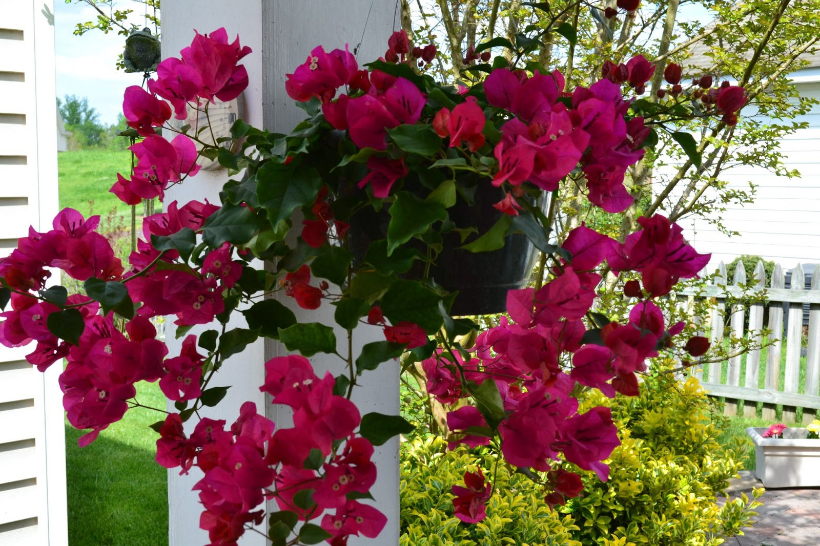 I Saw This Stunning Bougainvillea And Just Couldn T Resist The Fuchsia Color Is Gorgeous They Hened To Love Sun Don Mind Drying Out Before