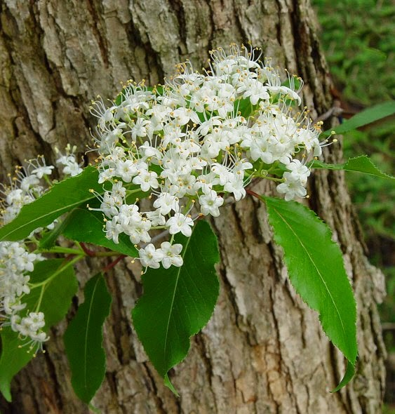Benefits Of Black Haw (Viburnum Prunifolium) For Health