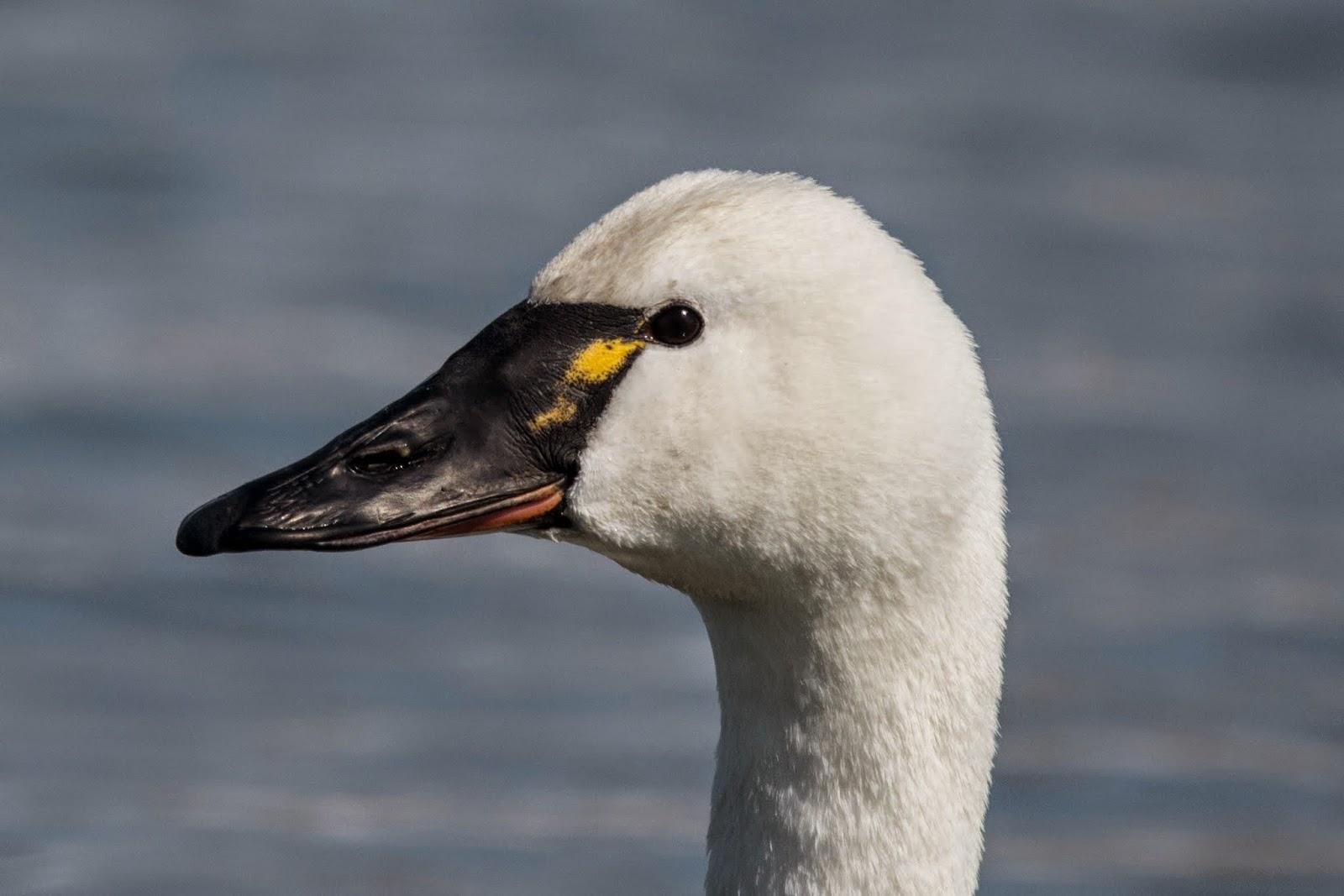 Baby tundra swan