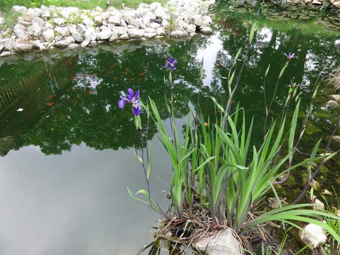 how to prepare pond bottom vannamei farming