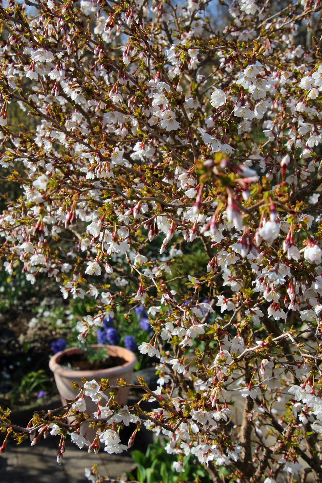Stamkörsbär Prunus 'Kojou-No-Mai'