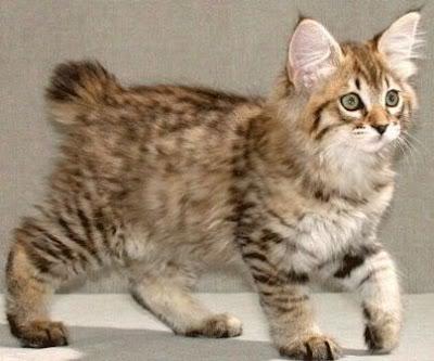 Foto kucing american bobtail