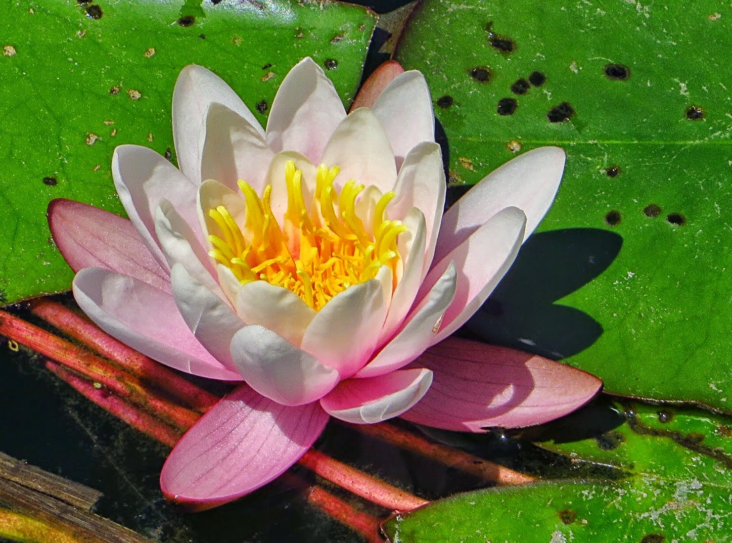 to paint a water lily ap literature essay How to write a critical essay a critical essay is an analysis of a text such as a book, film, article, or painting the goal of this type of paper is to offer a text.