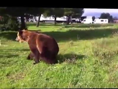 بالفيديو: دب روسي يرقص ويعزف موسيقى بطريقة رائعة - Такого медведя я вижу в первый раз