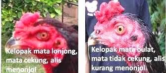 Kepala Ayam Aduan Tipe Ayam Bangkok Juara