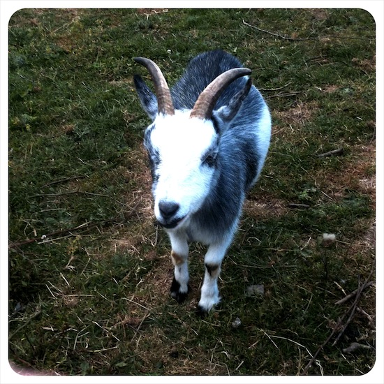 Goat at Coombe Mill
