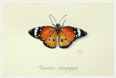 African Monarch butterfly by Shevaun Doherty SBA