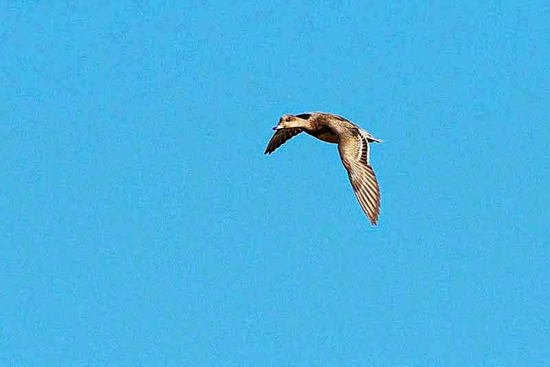 duck in flight, Anas clypeata