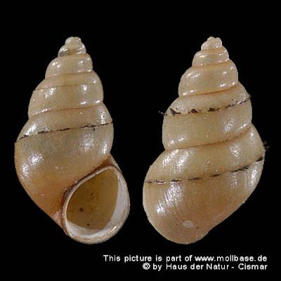 caracol de barro de nueva zelanda Potamopygrus antipodarum