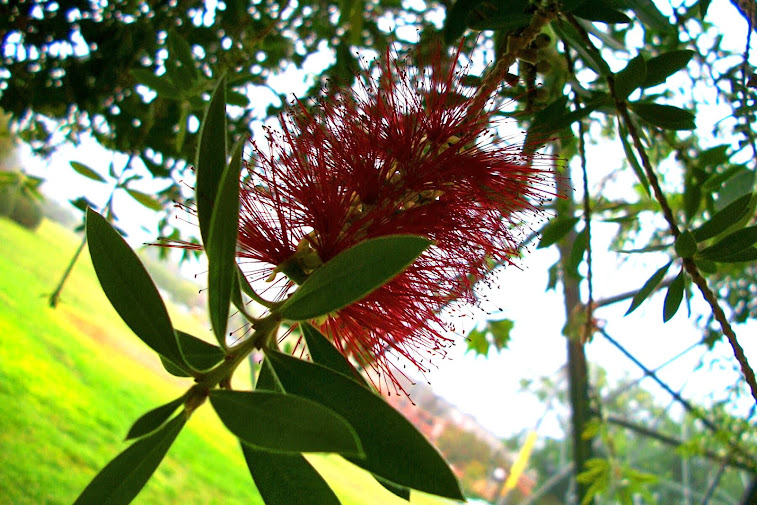 Another Bottlebrush