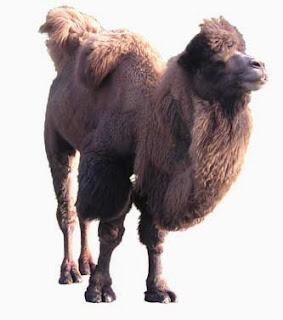 Kameelachtigen. Kamelen zijn ongeveer 4500 jaar geleden gedomesticeerd in Iran en Turkestan