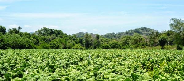 Cultivation of Poisonous plants