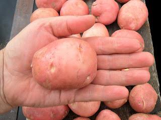 vkusniogorod – картофель на семена