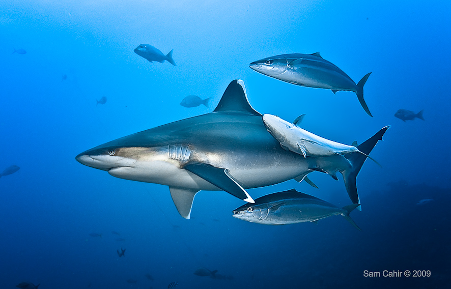 Hammerhead Shark Facts For Kids