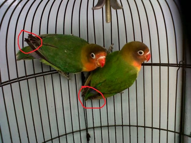 Foto Burung Lovebird Kepala Jantan
