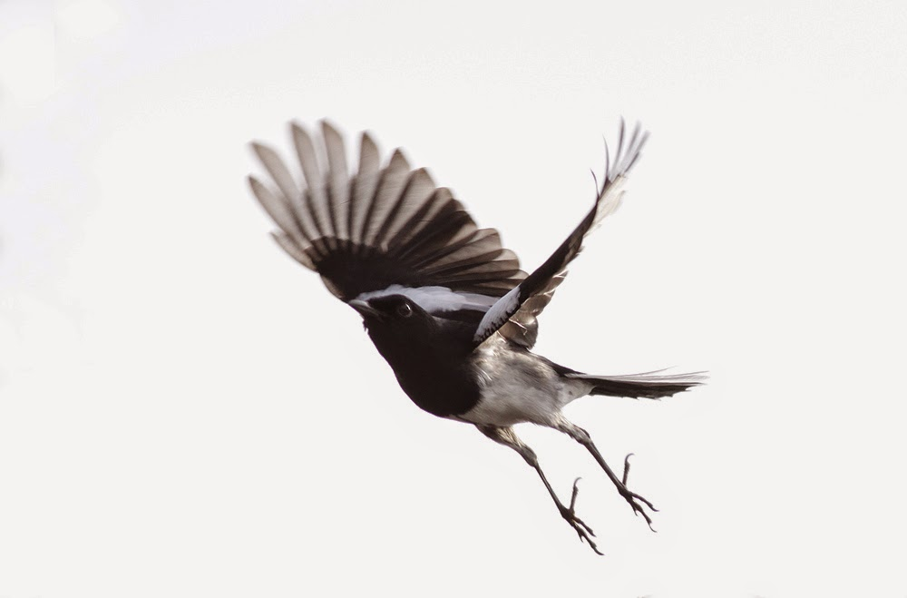 Jumping Magpie Robin