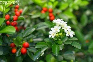 Khasiat Bunga Kemuning untuk Kesehatan