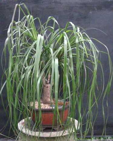 Bonsai Beginnings: Ponytail Palm- no true palm on indoor pony tail plant, corn house plant, indoor palms low light, wicker basket with silk areca palm plant, ponytail bonsai plant, elephant foot house plant,