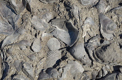 A section of a bed in the Fossil Cliffs, Maria Island, composed almost entirely of fossil shellfish - 28th April 2011