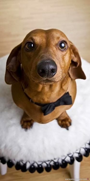 daschund with bow tie