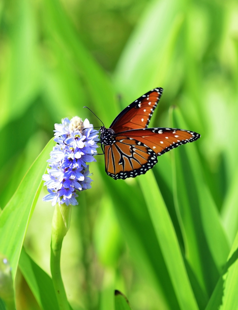 Queen Butterfly on Pickerweed_4358