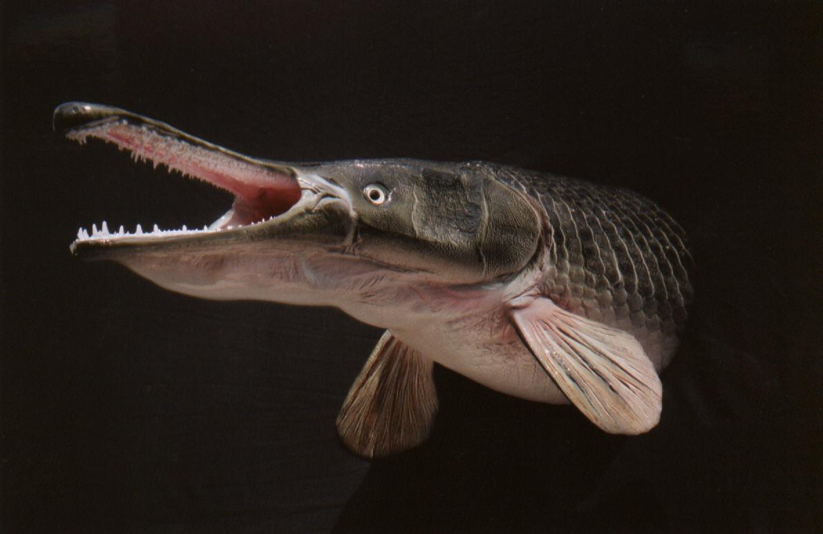 Alligator gar wild life animal for Freshwater fish with teeth