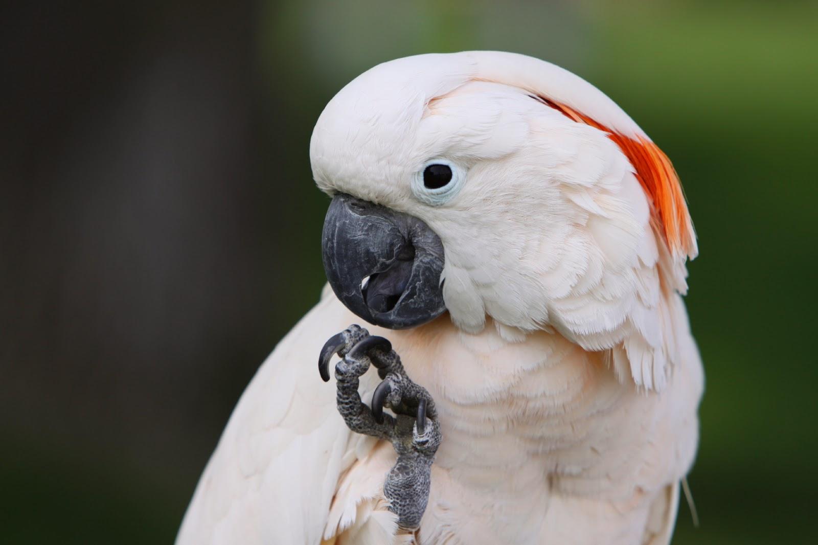 burung kakatua seram (Cacatua moluccensis) dilindungi undang undang