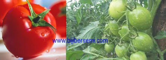cara menanam tanaman tomat, cara menanam tomat, jenis tomat