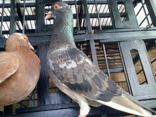 cara ternak burung dara atau burung merpati