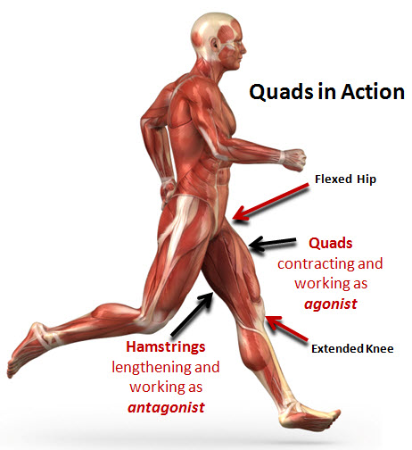 Quadriceps Muscle Exercises Quadriceps Muscle Vastus