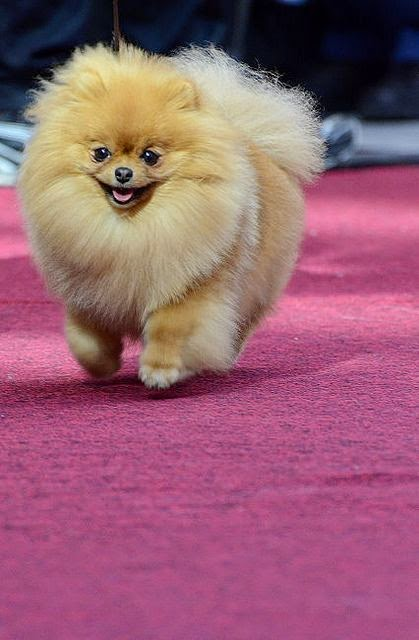 Cute  Keeshond Puppy Pomeranians