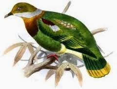 Western ornate fruit dove