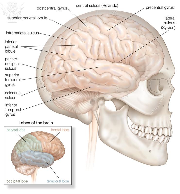 Human Brain Anatomy App