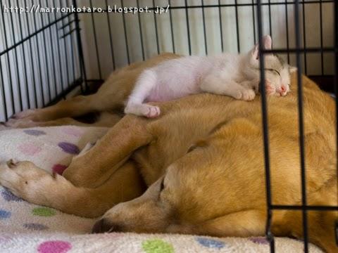 大型犬の上で眠る子猫の画像 kitten on dog sleeping