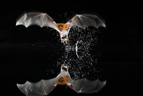 Top 10 interesting facts about bats photos 0 for Fish eating bat