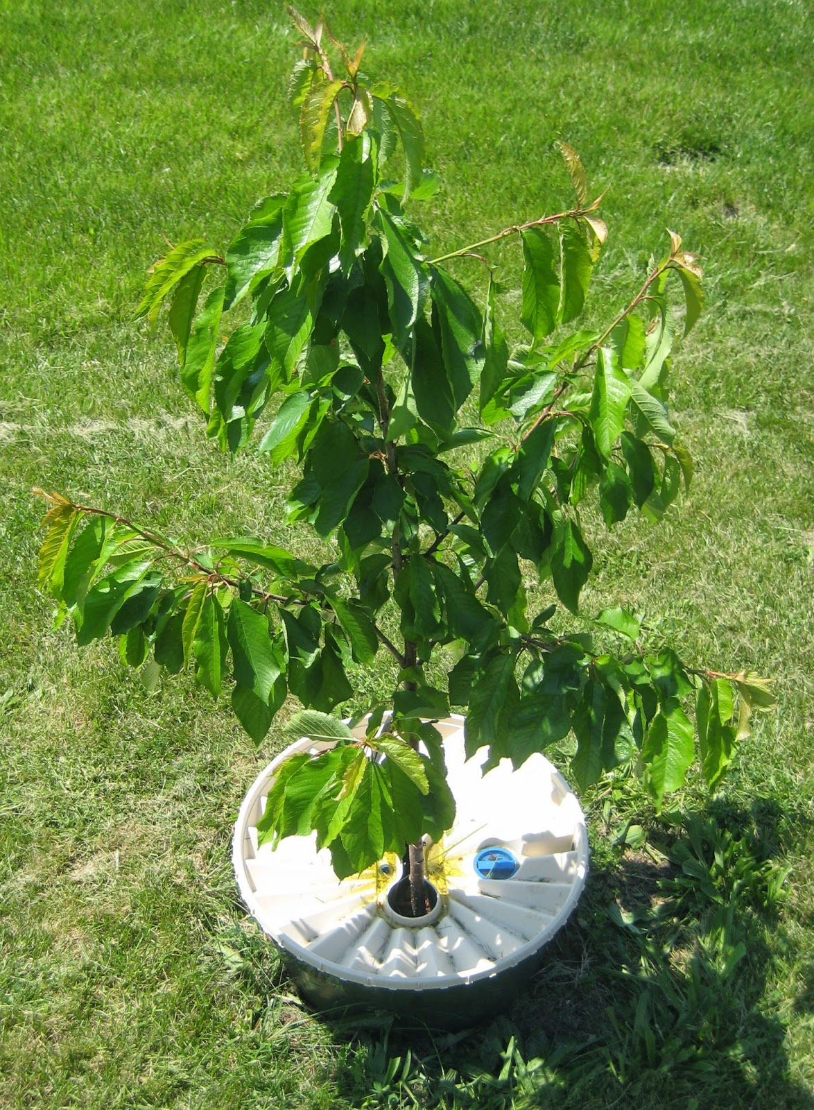the arid arborist and gardener growing dwarf cherry trees, Natural flower