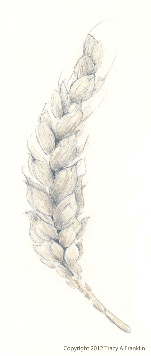 Tracy A Franklin Specialist Embroiderer Wheat A Pencil Drawing