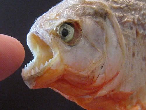 Piranha Wild Life Animal
