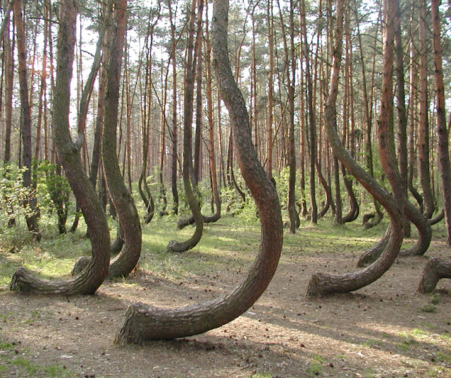 The Mysterious Crooked Forest