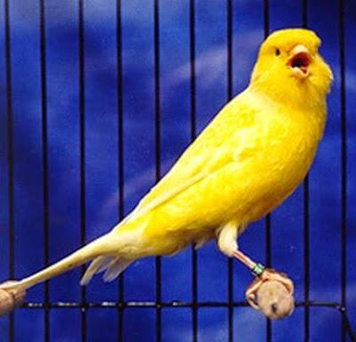 burung kenari, canary
